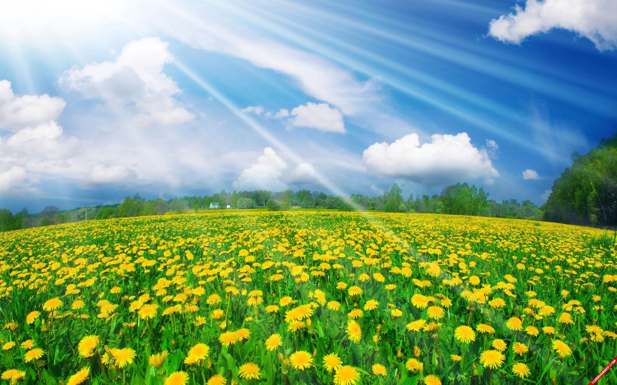 Một bức ảnh xanh lá lẫn xanh dương hòa trong ánh nắng thật nên thơ trong cánh đồng hoa vàng bát ngát